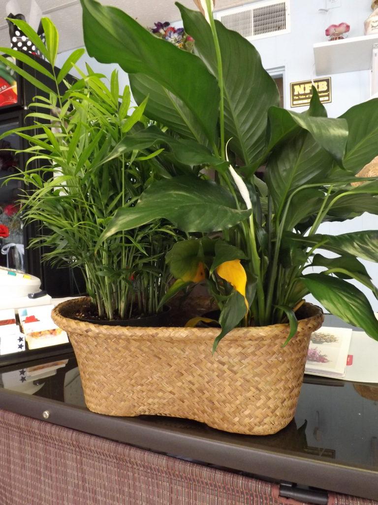 Double Basket plant